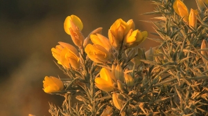 592-122811-Spain-Gorse-Subclip